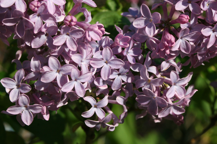 Good day lilacs