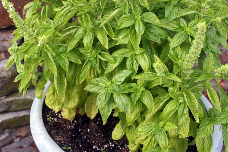 Basil-on-patio