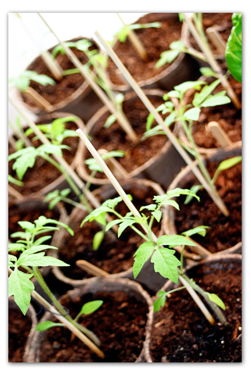 Tomatoes-to-be