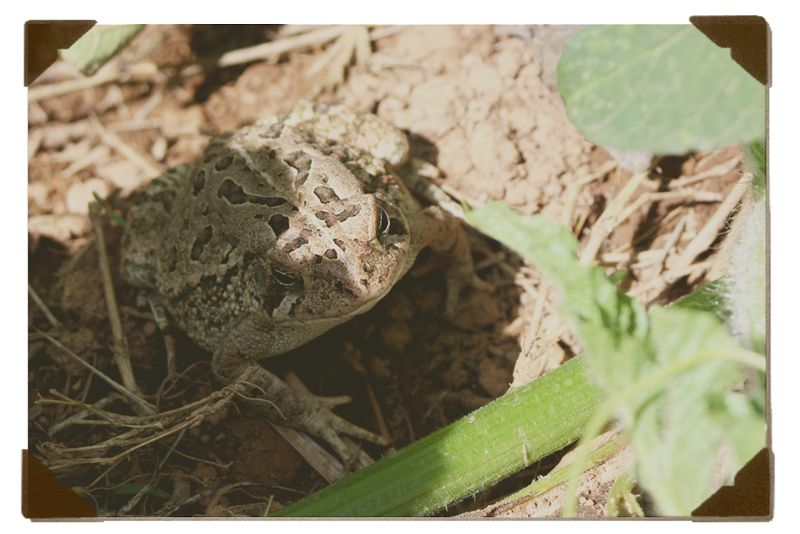 Garden-toadie