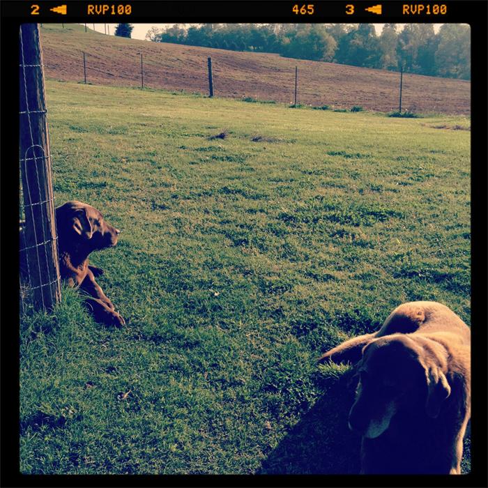 Farm-dogs