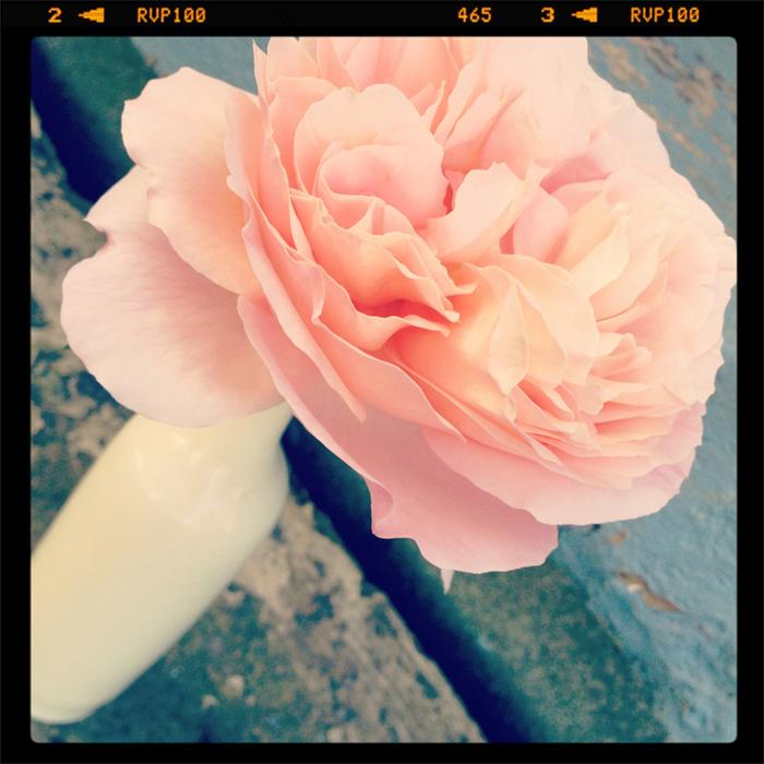 Farm-rose