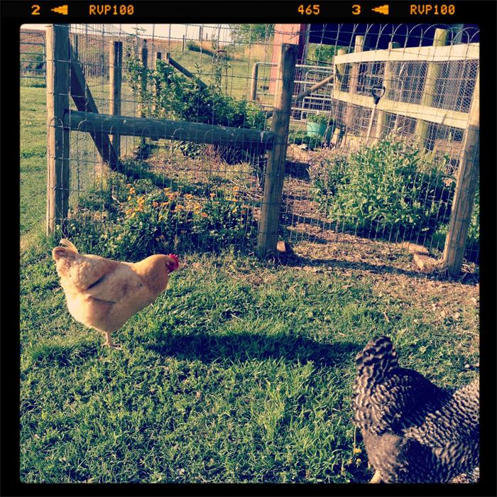 Farm-hens