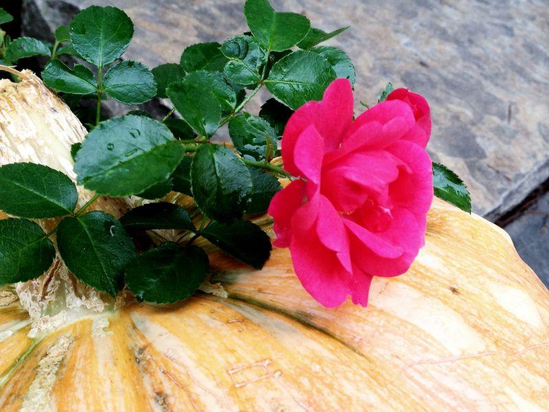 Outside-rose-pumpkin