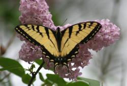 Sweetswallowtail